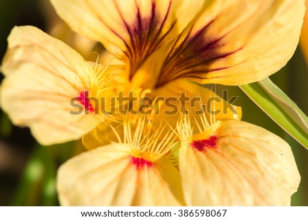 Yellow and orange Nasturtium Flower