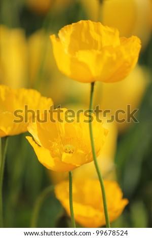 Yellow and orange poppy flower field - stock photo