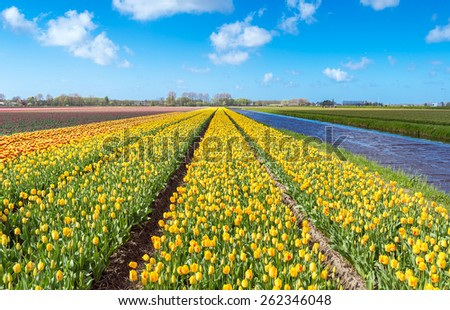 Yellow and orange tulip fields near Keukenhof, Lisse, the Netherlands.