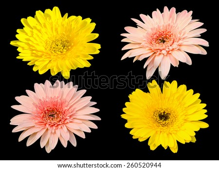 Yellow and pink Gerbera bloom Flowers isolated on black background. - stock photo