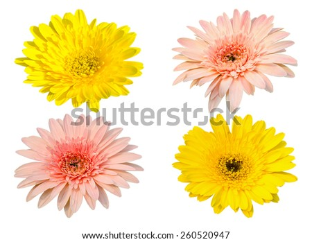 Yellow and pink Gerbera bloom Flowers isolated on white background.