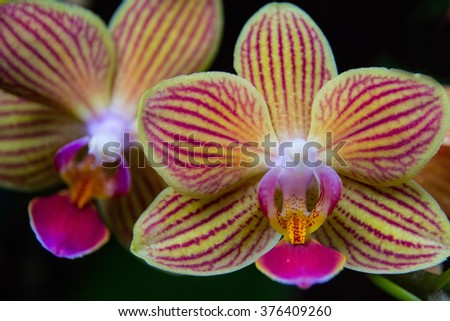 Yellow and pink striped orchid - stock photo