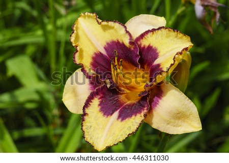 Yellow and purple Daylily flower in a garden. - stock photo