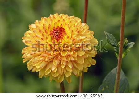 Yellow and red dahlia flower