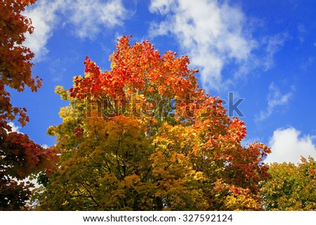 Yellow and red of maple leaves in autumn on a background of blue sky