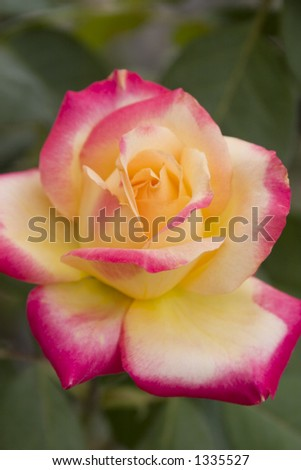 Yellow and Red Rose - stock photo