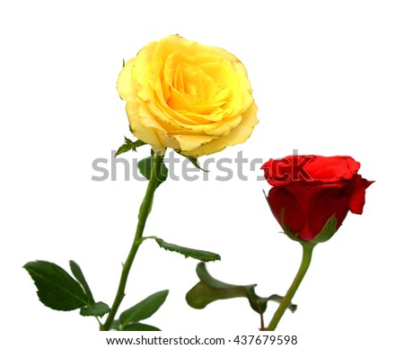 yellow and red rose isolated on white background