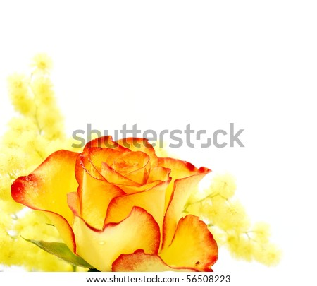 Yellow and red rose photographed on white background