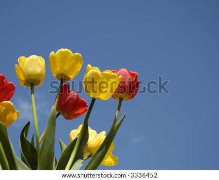 yellow and red tulips on blue sky