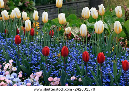 yellow and red tulips with water drops and multicolored garden flowers on background, horizontal image, selective focus  - stock photo