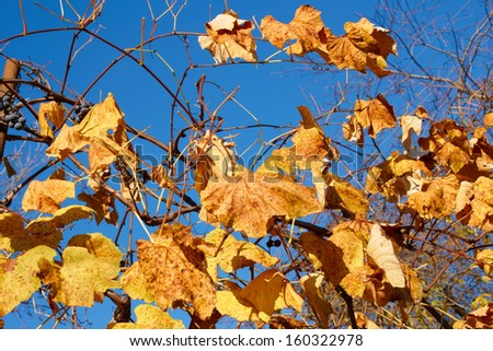 Yellow and scarlet leaves on a grapes bush against the background a blue sky in a lovely sunny autumn day - stock photo