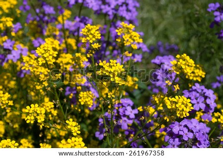 yellow and violet flowers - stock photo