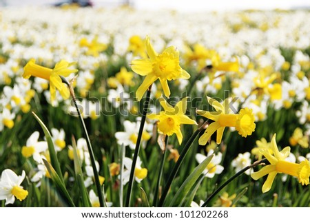 yellow and white daffodil flowers