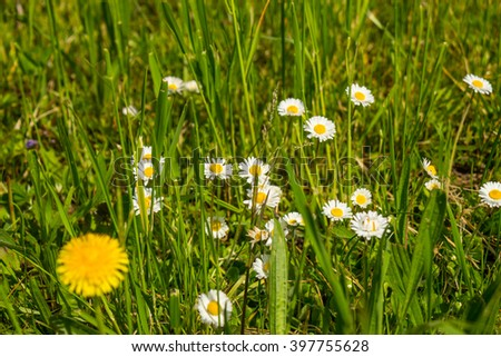 Yellow and white daisies next to dandelion flower among long blades of grass outdoors - stock photo