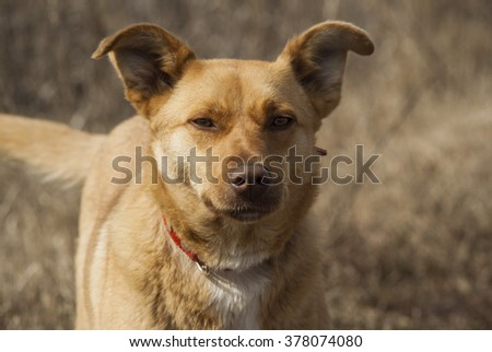 yellow and white dog with a red collar on the dry grass background