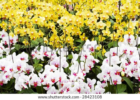 yellow  and white orchids - stock photo