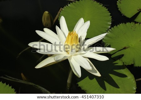 """Yellow and white """"Water lily"""" flower in a pond in Zurich, Switzerland. - stock photo"""