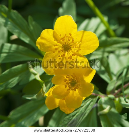 Yellow anemones (Anemonoides ranunculoides) close-up  - stock photo