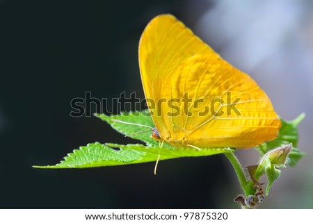 Yellow anteos cloride butterfly feeding on green leaf - stock photo
