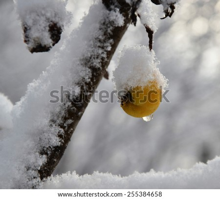 Yellow apple hanging on a tree covered with white snow - stock photo