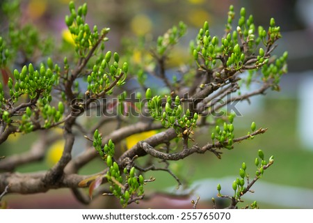 Yellow Apricot blossom buds ( Hoa mai ) ,the flowers of traditional Vietnamese new year  - stock photo