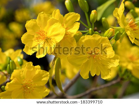 Yellow apricot flowers of South - stock photo