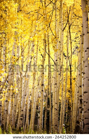 yellow aspen trees forest fall autumn  - stock photo