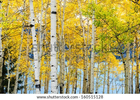 Yellow aspen trees with lake in the background. - stock photo