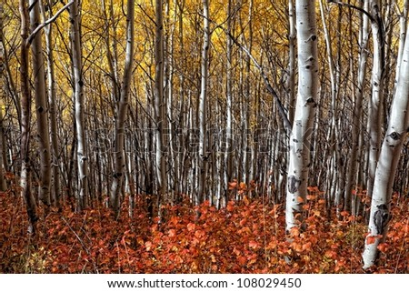 Yellow Aspens and dark red bushes at the bottom/ Reds and Yellows of Autumn - stock photo