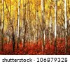 yellow aspens with deep red bushes below/ Red Grass Glow - stock photo
