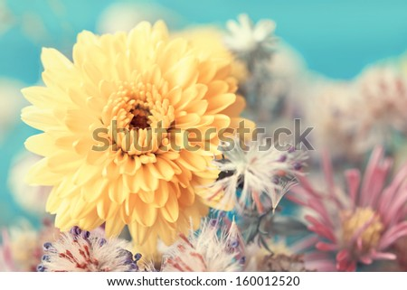 yellow aster close up - stock photo