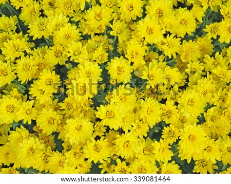 Yellow aster flowers background. Beautiful asters - stock photo