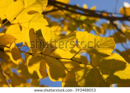 Yellow autumn birch leaves against the blue sky, autumn background