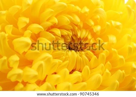 Yellow autumn chrysanthemum macro - stock photo