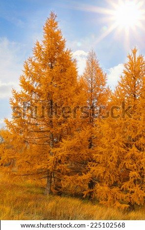 yellow autumn conifers