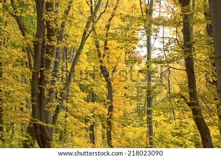 yellow autumn forest - stock photo
