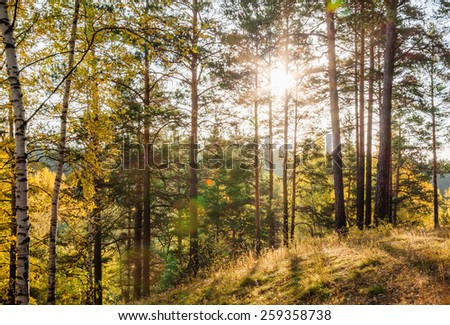 Yellow autumn forest at sunset - stock photo