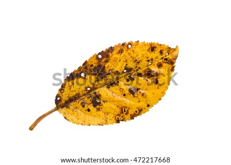 Yellow autumn leaf closeup isolated on white background