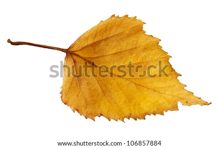 Yellow autumn leaf of a birch isolated on a white background - stock photo