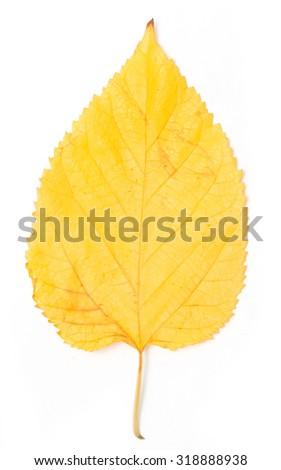 yellow autumn leaf on a white background - stock photo