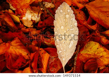 Yellow autumn leaf with raindrops lying on the autumn leaves - stock photo