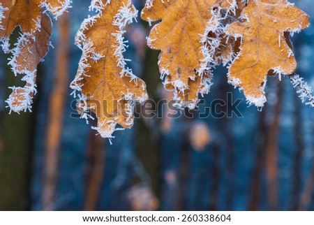 Yellow autumn leaves covered with hoarfrost. Natural background - stock photo