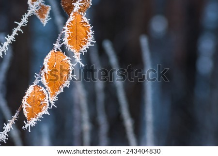 Yellow autumn leaves covered with hoarfrost. Nature background - stock photo