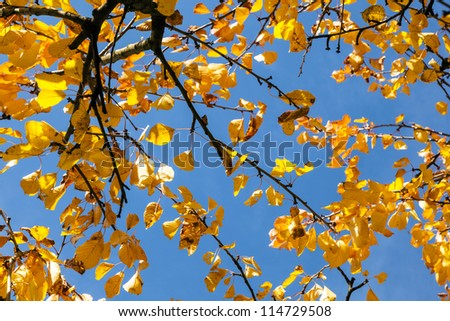 yellow autumn leaves hanging at the tree with blue sky