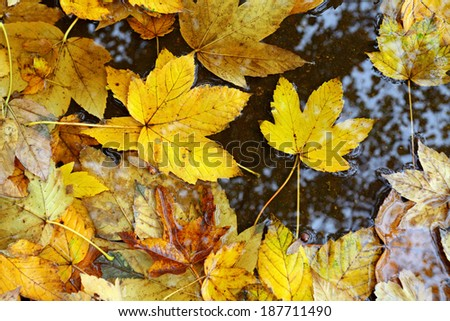 yellow autumn leaves in rain puddle - stock photo