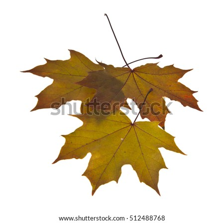 yellow autumn leaves isolated on white background closeup
