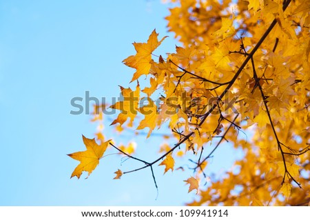 Yellow autumn leaves on a maple tree against bright blue sky - stock photo