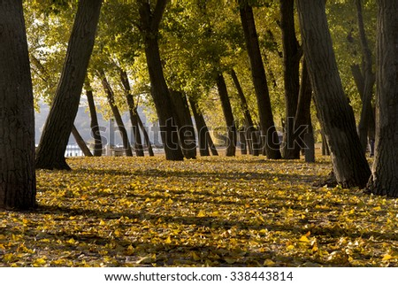 yellow autumn leaves on the ground lit by the sun and the dark tree trunks