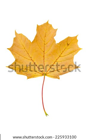 Yellow autumn maple leaf isolated on white background with clipping path - stock photo