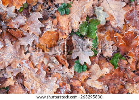 Yellow autumn oak leaves covered with hoarfrost as background - stock photo